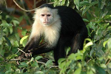 1_Panama_Canal_-_Capuchin_Monkey(1).jpg
