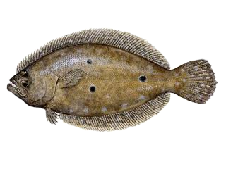 Flounder.fw.png
