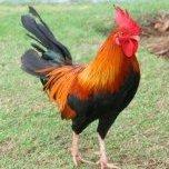 wildchicken13