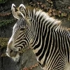 Lego_Zebra
